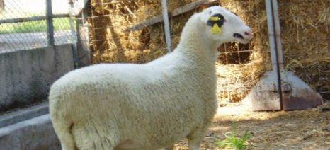 Στο πρόγραμμα διατήρησης των «Γενετικών πόρων στην κτηνοτροφία» εντάχθηκε το πρόβατο φυλής Φλώρινας
