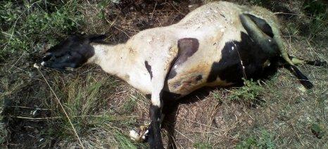 Νέα επίθεση λύκων σε ποιμνιοστάσιο στο Μαυρομμάτι Μαγνησίας