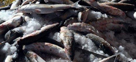 Διανομή νωπών αλιευμάτων σε κοινωνικές δομές, από τον ΣΑΣΕΛ