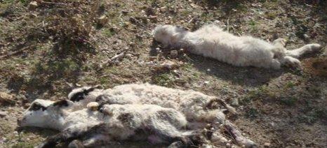 Ο υποσιτισμός των κοπαδιών της Κρήτης οδήγησε στο θάνατο πάνω από 200.000 αιγοπρόβατα