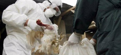 Επείγουσα ενημέρωση πτηνοτρόφων και κατόχων οικόσιτων πουλερικών για τη γρίπη των πτηνών