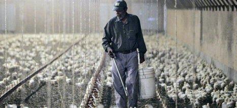 Το ενδεχόμενο να έχει μολυνθεί και κρέας πουλερικών από fipronil ερευνούν οι ολλανδικές αρχές