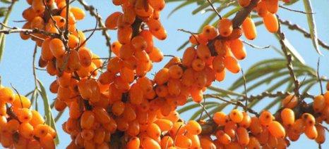 Ημερίδα στην Κοζάνη για την καλλιέργεια των ρώσικων ποικιλιών Ιπποφαούς