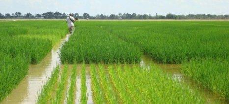 Μειώνεται η καλλιέργεια ρυζιού παρά την αύξηση της κατανάλωσης