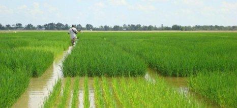 Η μείωση των επιλέξιμων εκτάσεων οδηγεί σε αύξηση της συνδεδεμένης ενίσχυσης για το ρύζι