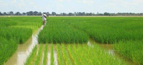 Κατατέθηκε φάκελος για τη Διεπαγγελματική Ρυζιού