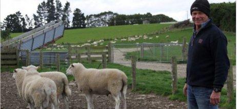 Το υπερ-πρόβατο θέλει να δημιουργήσει με διασταυρώσεις ένας κτηνοτρόφος από τη Νέα Ζηλανδία