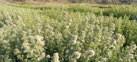 Οι περιορισμοί για τη συλλογή αρωματικών φυτών στο νομό Μεσσηνίας