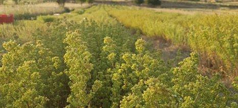 Η έρευνα για την ανάδειξη των φαρμακευτικών φυτών της Λήμνου φέρνει αποτελέσματα