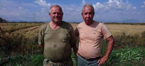 Μειωμένη κατά 50% η φετινή παραγωγή ρυζιού στη Μεσσηνία