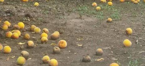 «Σάπισαν» τα ροδάκινα – Ζημιές από τις καταιγίδες στον Τύρναβο