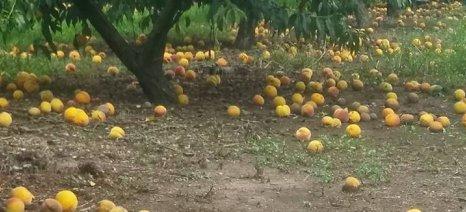 Ο ΕΛΓΑ καλύπτει το σκάσιμο των καρπών αλλά όχι την καρπόπτωση από τις βροχοπτώσεις