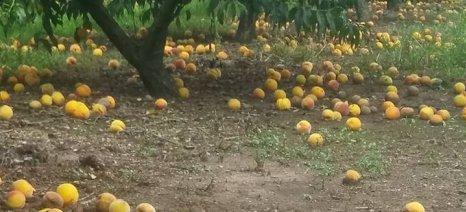 Στις 12 Οκτωβρίου θα επικυρώσει το Δ.Σ. του ΕΛΓΑ το πόρισμα για τις ζημιές από βροχοπτώσεις στα ροδάκινα