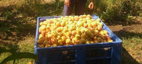 ΕΚΕ: Απαράδεκτα μεγάλες ποσότητες πράσινου ροδάκινου παραδίδονται στα εργοστάσια