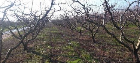Ροντούλης εναντίον Κόκκαλη για τη μη καταβολή ενισχύσεων de minimis στους ροδακινοπαραγωγούς της Λάρισας