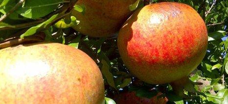 Success story: Δύο νέοι φέρνουν την οργανωμένη καλλιέργεια ροδιάς στη Μεσσηνία