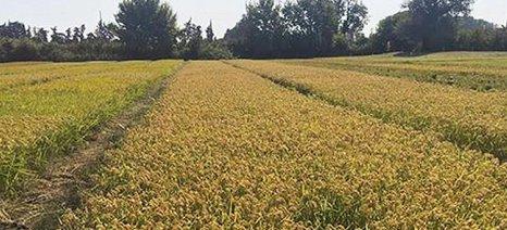 Το ρύζι του Έβρου εξάγεται στην Τουρκία
