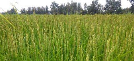 Στα 27,9 ευρώ/στρέμμα η συνδεδεμένη ενίσχυση για τo ρύζι