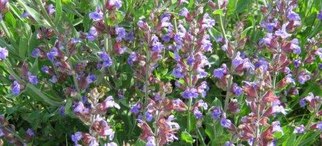 «Αρωματικά και Φαρμακευτικά Φυτά: Προβλήματα και Προοπτικές» την Πέμπτη στην 12η Agrothessaly