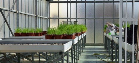 Συνεχίζει το Δημοκρίτειο Πανεπιστήμιο τις πειραματικές καλλιέργειες οσπρίων