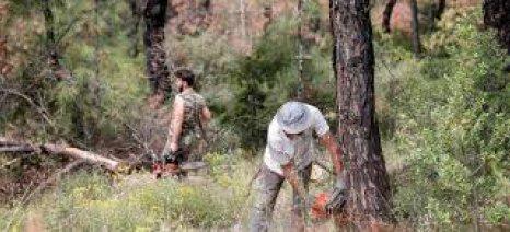 Εντατικά η υλοτόμηση και απομάκρυνση των προσβεβλημένων δένδρων από φλοιοφάγα έντομα στο Σέιχ Σου