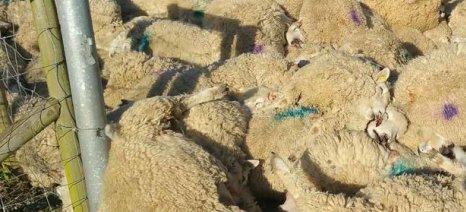 Μάζεψε 2.200 στερλίνες με έρανο Βρετανός κτηνοτρόφος που έχασε 116 πρόβατα σε μία μέρα
