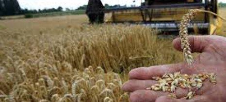 Με έντονες πιέσεις κινούνται οι τιμές στο σκληρό σιτάρι