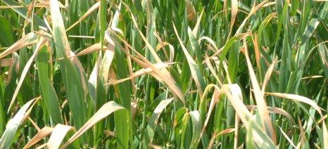 Η παγωνιά και η ανομβρία απειλούν τις καλλιέργειες ελαιοκράμβης και σιτηρών στα Τενάγη