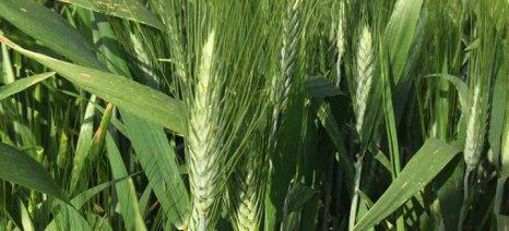 Σταθερά τα στρέμματα που καταλαμβάνουν στην Ε.Ε. τα σιτηρά, οι ελαιούχοι και πρωτεϊνούχοι σπόροι