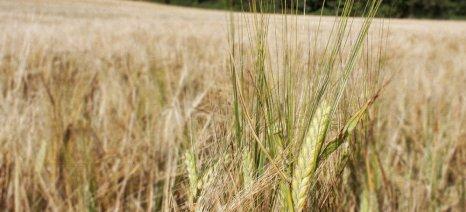 Οι απαιτήσεις για πιστοποιημένο σπόρο σε σκληρό σιτάρι και ψυχανθή για τη συνδεδεμένη ενίσχυση