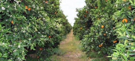 Μέσω ΠΣΕΑ οι μη καλυπτόμενες ζημιές στα πορτοκάλια της Αργολίδας