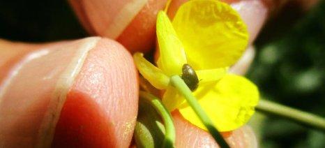 Για εμφάνιση προσβολών από έντομα στην ελαιοκράμβη προειδοποιούν οι γεωπόνοι της Pioneer