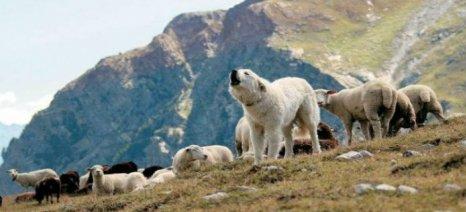Μηνύσεις κτηνοτρόφων για επιθέσεις σκύλων στα κοπάδια τους στο Δήμο Χανίων