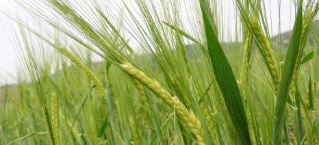 Στα 4,56 ευρώ το στρέμμα η συνδεδεμένη ενίσχυση για το σκληρό σιτάρι
