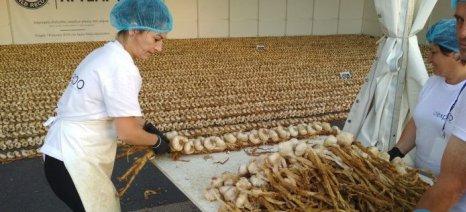Επίσημα στα Ρεκόρ Γκίνες με 612 μέτρα και 70 εκατ. πλεξούδα τα σκόρδα Νέας Βύσσας
