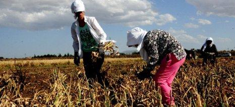 Μειωμένη σε ποσοστό μεγαλύτερο του 40% η καλλιέργεια σκόρδου στον Έβρο
