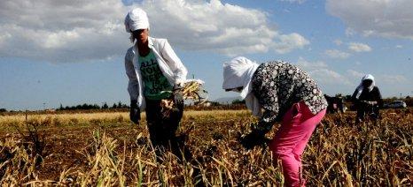 Αναβιώνει η καλλιέργεια του φημισμένου σκόρδου Ξυλαγανής