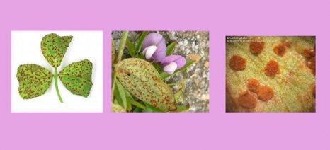 Σκωρίαση και θρίπα στις φακές σε Μαγνησία και Λάρισα εντόπισε το Περιφερειακό Κέντρο Φυτοπροστασίας Βόλου