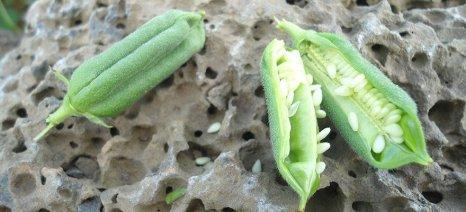 Σουσάμι, λιναρόσπορος, λαθούρι: Καλλιέργειες που δεν εξαρτώνται από τις επιδοτήσεις