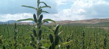 Μερίδιο από τις εισαγωγές 40.000 τόνων σουσαμιού θέλουν Έλληνες καλλιεργητές