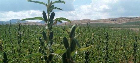 Ενημέρωση για την καλλιέργεια του σουσαμιού στις Σέρρες σήμερα το απόγευμα