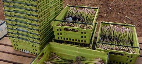 Όσα πρέπει να ξέρετε για την καλλιέργεια σπαραγγιού, πριν τη σπορά