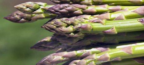 Η σκωρίαση πλήττει τις καλλιέργειες σπαραγγιού της Θεσπρωτίας