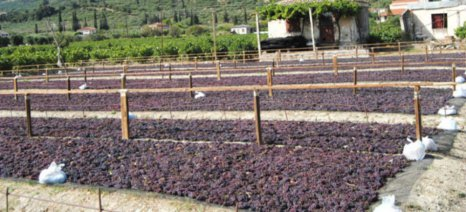 De minimis για βιομηχανική τομάτα και σταφίδα ζητά η Ομάδα Παραγωγών Αμαλιάδας