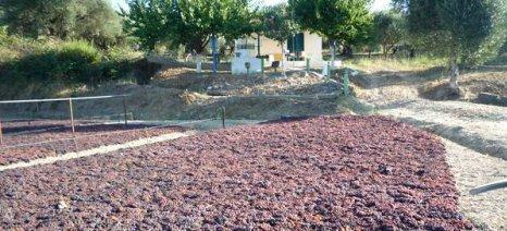 Ασύμφορη η καλλιέργεια σταφίδας στην Τριφυλία