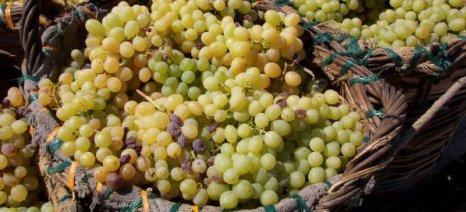 Ικανοποιητική η συγκομιδή σταφυλιών και η παραγωγή οίνων στη Νεμέα