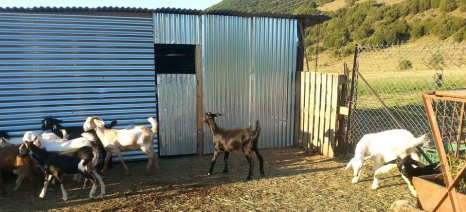 Παρέμβαση για τις αποζημιώσεις καταστροφών ζωικού κεφαλαίου από σαρκοφάγα ζώα στη Δυτική Ελλάδα