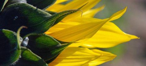 Ημερίδα για την καλλιέργεια του ηλίανθου στο λεκανοπέδιο του Νευροκοπίου