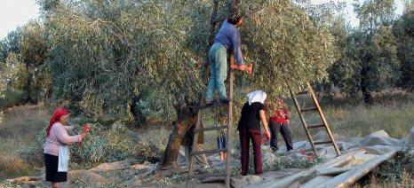 Να ξεκινήσει η συγκομιδή της ελιάς από τις 10 Νοεμβρίου συστήνει η ΔΑΟΚ Ηρακλείου