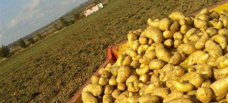 """""""Πρασινίζει"""" η πατάτα στον κάμπο της Ηλείας - Προβλήματα και χαμηλές τιμές"""